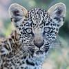 Leopard Cub, Jao Camp, Botswana