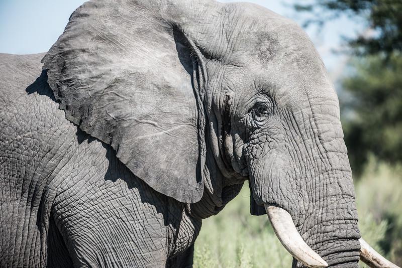 Elephant, Chitabe, Botswana