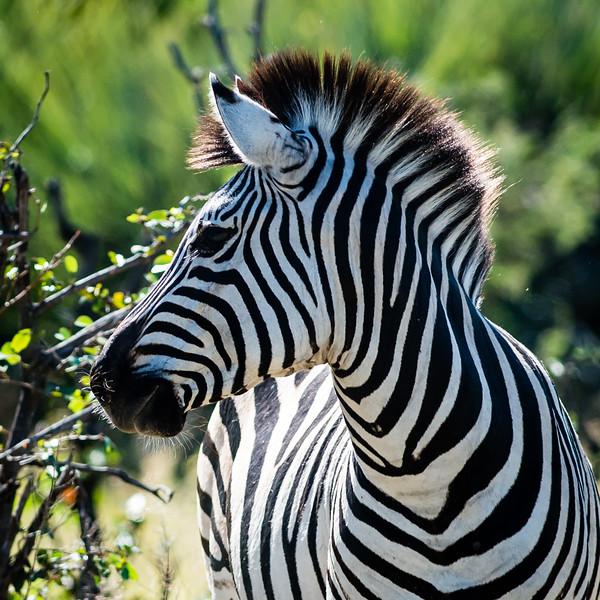 Burchell's Zebra, Jao Camp, Botswana