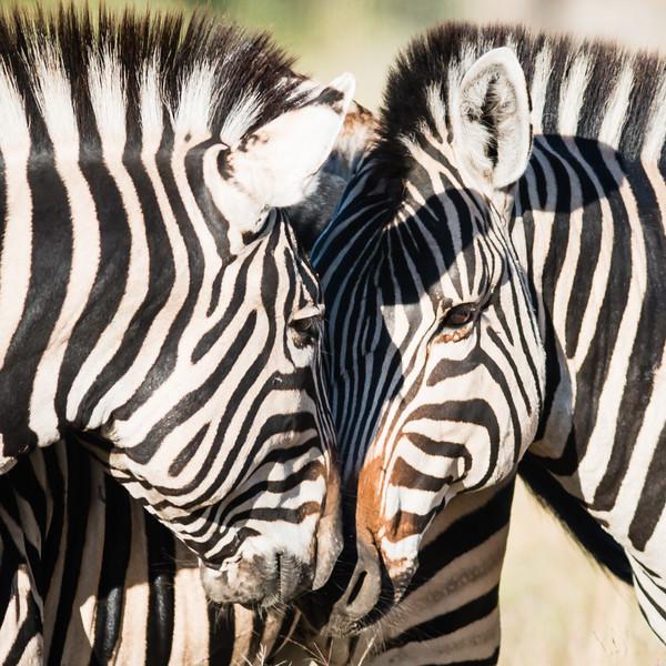 Burchell's Zebra, Chitabe, Botswana
