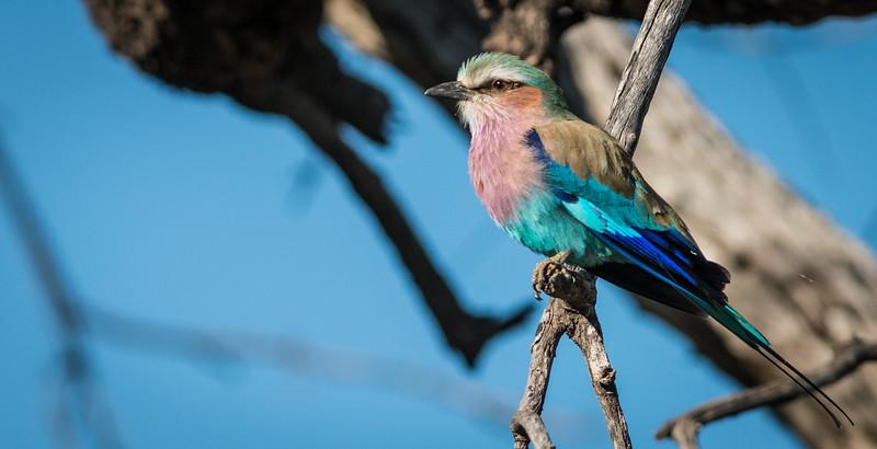 Lilac-Breasted Roller, DumaTao, Botswana (2)