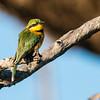 Little Bea Eater, Jao Camp, Botswana