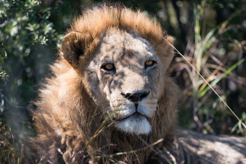 Young Male Lion, DumaTao, Botswana