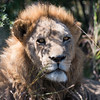 Young Male Lion, DumaTao, Botswana