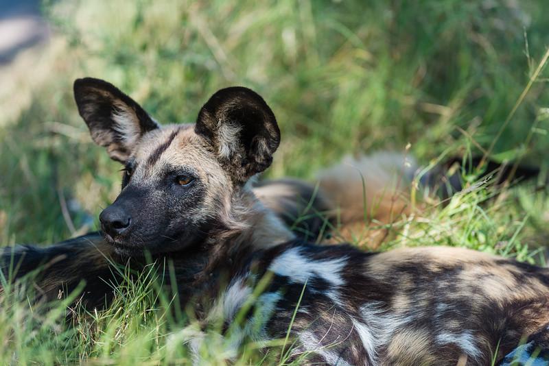 Wild Dog, Chitabe, Botswana