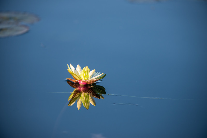 Water Lily,Jao Camp, Botswana (1))