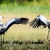 Wattled Cranes, Jao Camp, Botswana