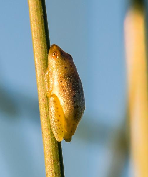 Reed Frog, Jao Camp, Botswana