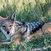Black-backed Jackal, Chitabe, Botswana