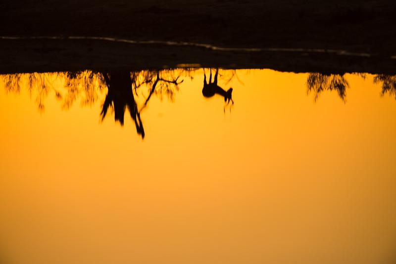 Impala at Sunset, Chitabe, Botswana