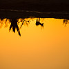 Impala at Sunset, Chitabe, Botswana