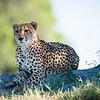 Cheetah, Chitabe, Botswana (5)