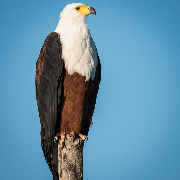 African Fish Eagle, Jao Camp, Botswana (3)