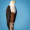 African Fish Eagle, Jao Camp, Botswana (3)