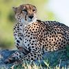 Cheetah, Chitabe, Botswana (6)