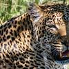 Leopard, DumaTao, Botswana