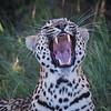 Yawning Leopard, Jao Camp, Botswana