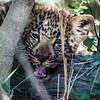Leopard Cub, DumaTao, Botswana