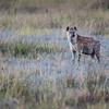 Spotted Hyena, Chitabe, Botswana