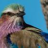 Lilac-Breasted Roller, DumaTao, Botswana (4)