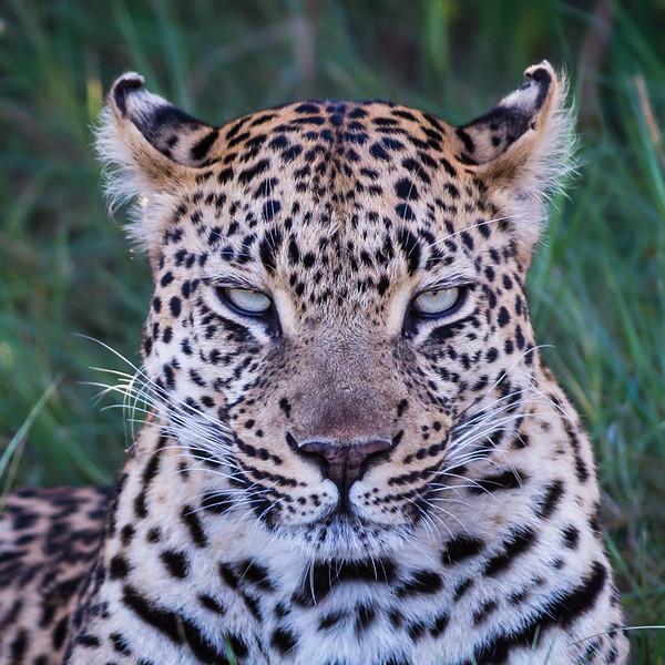 Leopard, Jao Camp, Botswana (4)