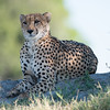 Cheetah, Chitabe, Botswana (4)