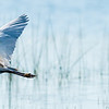 Intermediate Egret, Jao Camp, Botswana (2)