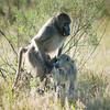 Mating Baboons, Chitabe, Botswana