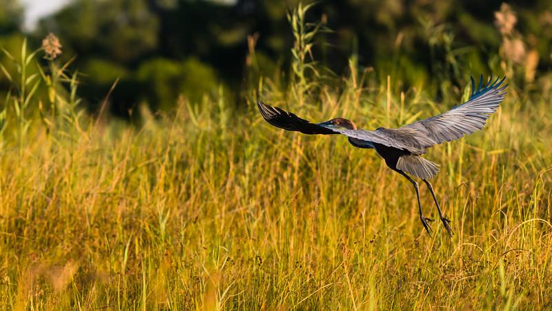 Goliath Heron, DumaTao, Botswana
