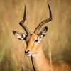 Impala Stag, Jao Camp, Botswana