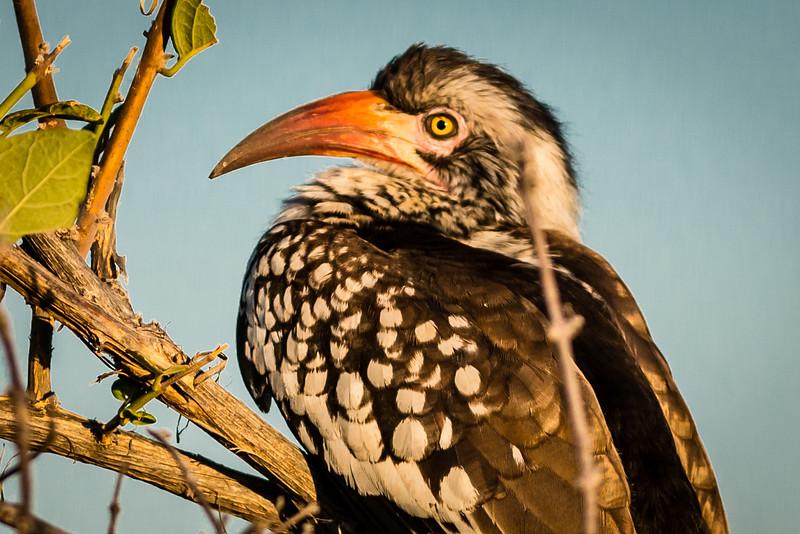 Red-billed Hornbill, DumaTao, Botswana (2)
