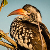 Red-billed Hornbill, DumaTao, Botswana (2)