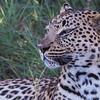 Leopard, Jao Camp, Botswana (2)
