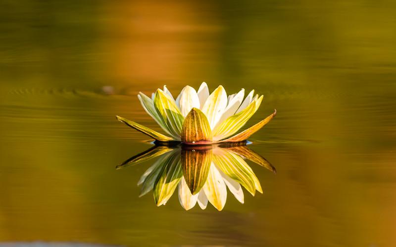 Water Lily,Jao Camp, Botswana (3)
