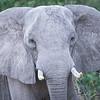 Elephant, Chitabe, Botswana (3)