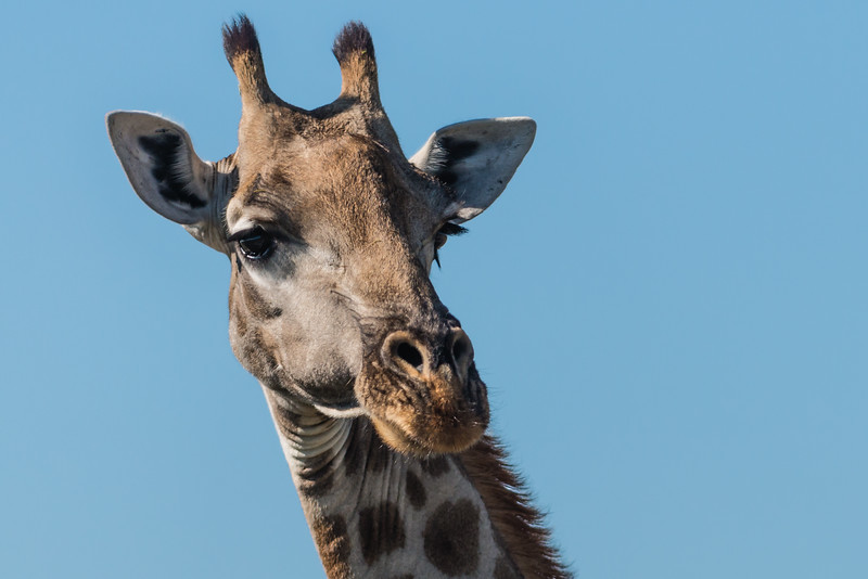 Giraffe, Jao Camp, Botswana