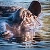 Hippopotamus, DumaTao, Botswana (2)