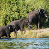 Three Elephants coming out of the Linyante River, DumaTao, Botswana