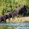 Three Elephants coming out of the Linyante River, DumaTao, Botswana