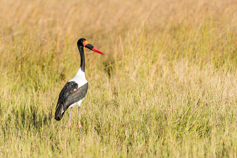 Saddle-BilledStork, Chitabe, Botswana