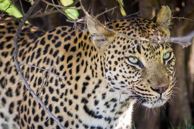 Leopard, Jao Camp, Botswana (6)