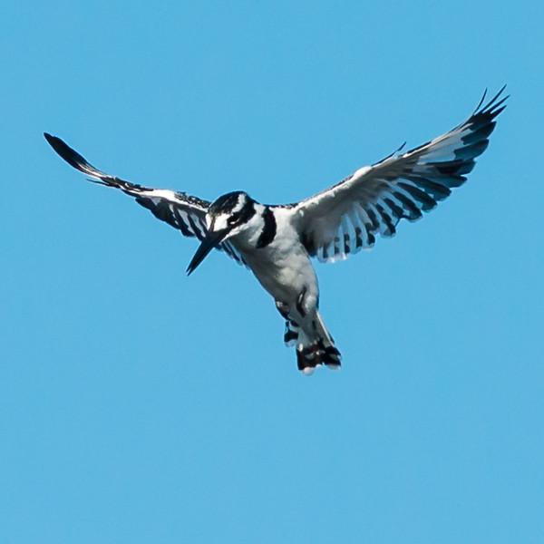 Pied Kingfisher, Jao Camp, Botswana (2)