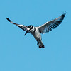 Pied Kingfisher, Jao Camp, Botswana (2)
