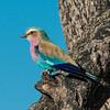 Lilac-Breasted Roller, DumaTao, Botswana (3)