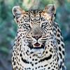 Leopard, Jao Camp, Botswana (7)