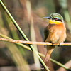 Little Bee-eater, DumaTao, Botswana