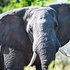 Elephant, DumaTao, Botswana