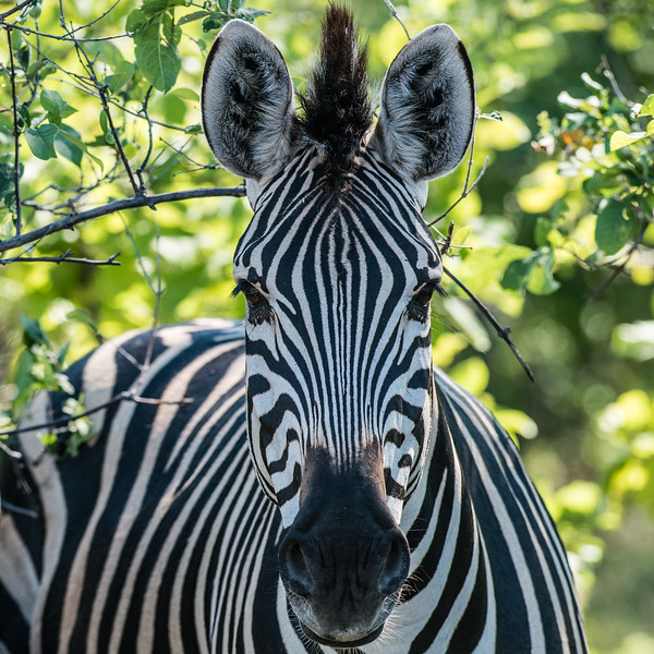 Burchell's Zebra, DumaTao, Botswana