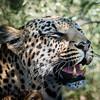 Leopardess & cub, DumaTao, Botswana (2)