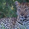 Leopard, Jao Camp, Botswana (5)